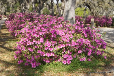 Georgia Azaleas under Live Oak Tree